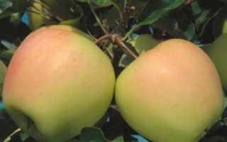 Яблоня Айнур: описание и характеристики сорта, регионы выращивания с фото