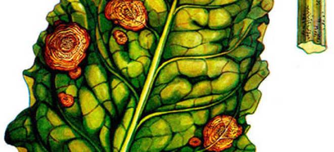 Листья свеклы в пятнах: чем обработать и что делать