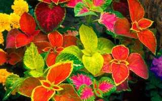 Колеус: посадка и уход в полевых условиях, выращивание из семян
