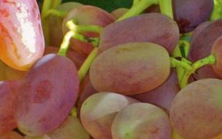 Виноград Виктор: описание сорта и характеристика, плюсы и минусы, выращивание