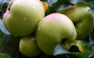 Яблоня Богатырь: описание сорта, преимущества и недостатки, выращивание