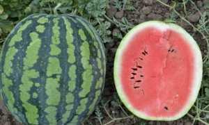 Арбуз Холодок : описание сорта и особенности выращивания, сбор и хранение урожая