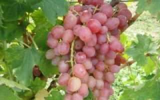 Виноград сорта Ливия: описание и характеристики, сроки созревания и размножение