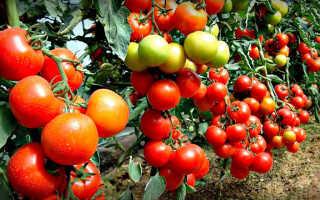 Когда убирать помидоры в теплице: срок сбора урожая и правила хранения