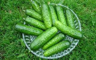 Огурец Бидретта f1: описание и характеристика сорта, мнение садоводов с фото