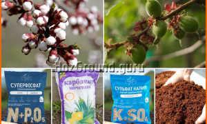 Подкормка абрикоса летом: чем удобрить при плодоношении и после сбора урожая