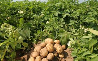 Лучшие сорта картофеля для середины России – раннее, эффективное