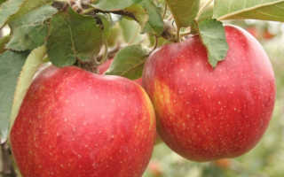 Сорт яблок Каштеля: описание и характеристики, сбор и хранение урожая, разновидности