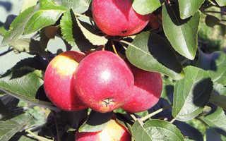 Колоновидная яблоня Арбат: описание сорта и характеристика, выращивание и уход