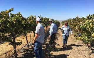 Чем в июле подкормить виноград во время наливания ягод и после цветения для роста
