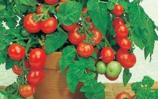 Многолетние помидоры на подоконнике и в огороде: выращивание и уход с фото