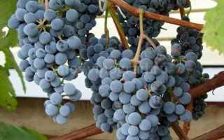 Виноград Муромец: описание и характеристики сорта, плюсы и минусы, выращивание