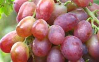 Виноград Ризамат: описание и характеристики сорта, селекция и выращивание с фото