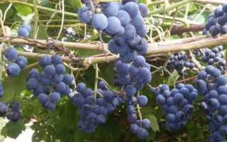 Виноград Зилга: описание и характеристика сорта и секреты агротехники с фото