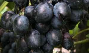 Виноград Молдова или Черный принц: описание и характеристики сорта с фото
