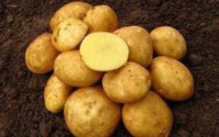 Картофель Винета: описание и характеристика сорта, посадка в открытый грунт с фото