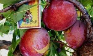 Слива Оцарк Премьер: описание сорта и опылители, посадка и уход с фото