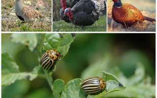 Кто ест колорадского жука: естественные враги в природе