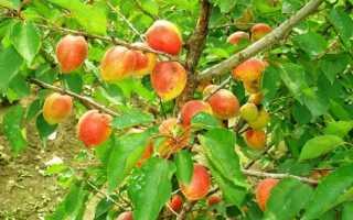 Описание абрикоса Академик