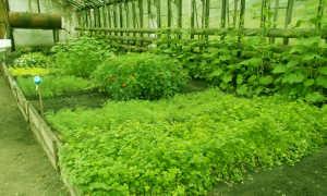 Выращивание кинзы в теплице: правильная агротехника