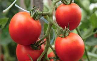 Томат Айвенго: характеристика и описание сорта, урожайность с фото