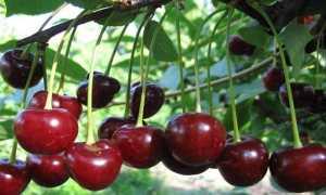 Вишня Молодежная: описание и характеристики, опылители для сорта, посадка и уход