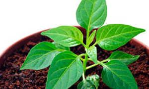 Как отличить рассаду горького перца от сладкого: пикировка и выращивание из семян