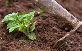 Веерное окучивание картофеля: описание способа и правила выполнения