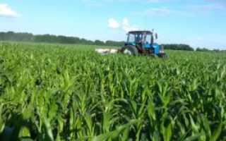 Кукуруза на силос: уборка, технология возделывания, сорта и урожайность