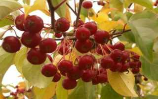 Яблоня Ягодная: описание, характеристики и происхождение, выращивание из семян