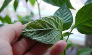 Болезни перцев в рассаде: пупырышки и скручиваются листья, как лечить фото