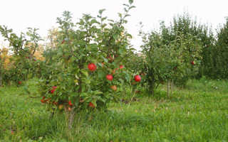 Яблоня Аленький цветочек: описание сорта и основные характеристики с фото