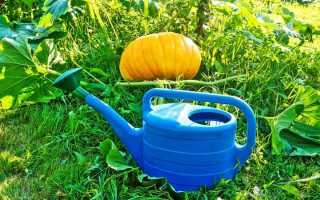 Как часто поливать тыкву в открытом грунте и нужно ли?