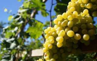 Пасынкование винограда в июне и июле: как правильно удалять и обрезать