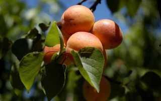 Абрикос Алеша: описание и характеристики сорта, опылители и урожайность с фото