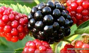 Ремонтантная ежевика: лучшие сорта, посадка, выращивание и уход с фото