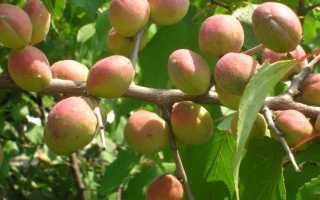Происхождение, распространение и польза армянского абрикоса