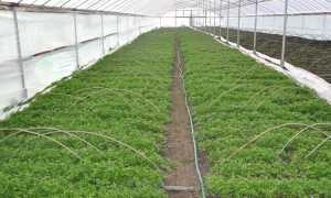 Выращивание петрушки в теплице: как ухаживать и сколько растет, урожайность