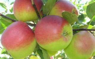 Яблоня Башкирская красавица: описание и характеристики сорта, выращивание с фото
