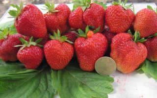 Клубника Кимберли: описание сорта и характеристики, выращивание и размножение с фото