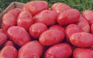 Картофель Ред Скарлет: описание и характеристика сорта, отзывы садоводов с фото