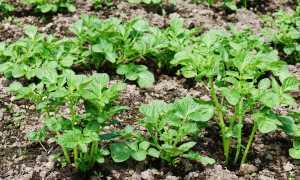Почему картошка не цветет: причины и что делать, будет ли урожай?