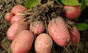 Картофель Ароза: описание и характеристика сорта, урожайность с фото