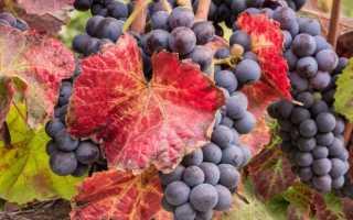 На листьях винограда красные пятна: почему, причины и что делать для лечения