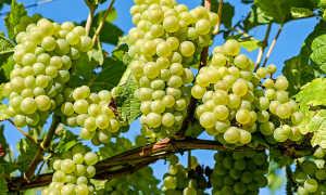 Польза винограда для организма и вред: какие витамины и целебные свойства