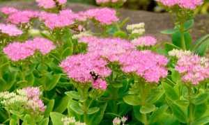 Очиток растение: посадка и уход в грунт, размножение, виды и сорта