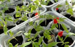 Когда и как собирать рассаду томатов пошагово с фото Видео