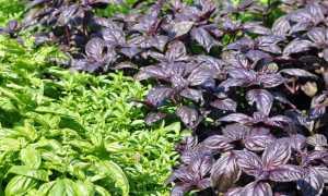 Сорта базилика: виды и описание лучших, выращивание с фото