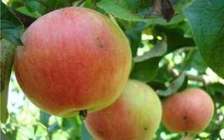 Яблоня Приземленное: описание сорта и характеристики, выращивание и уход
