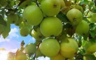 Яблоня Свердловчанин: описание сорта, созревание и плодоношение, отзывы с фото
